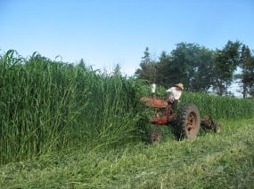 Sudan Grass at Organic Farming Works.