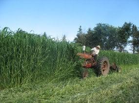 Sudan Grass at Organic Farming Works.