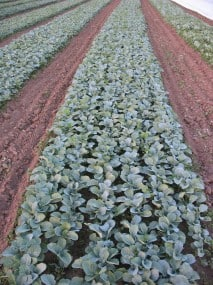 Broccoli Transpalnts in outdoor nursery beds at Organic Farming Works