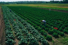 Kale harvest Organic Farming Works