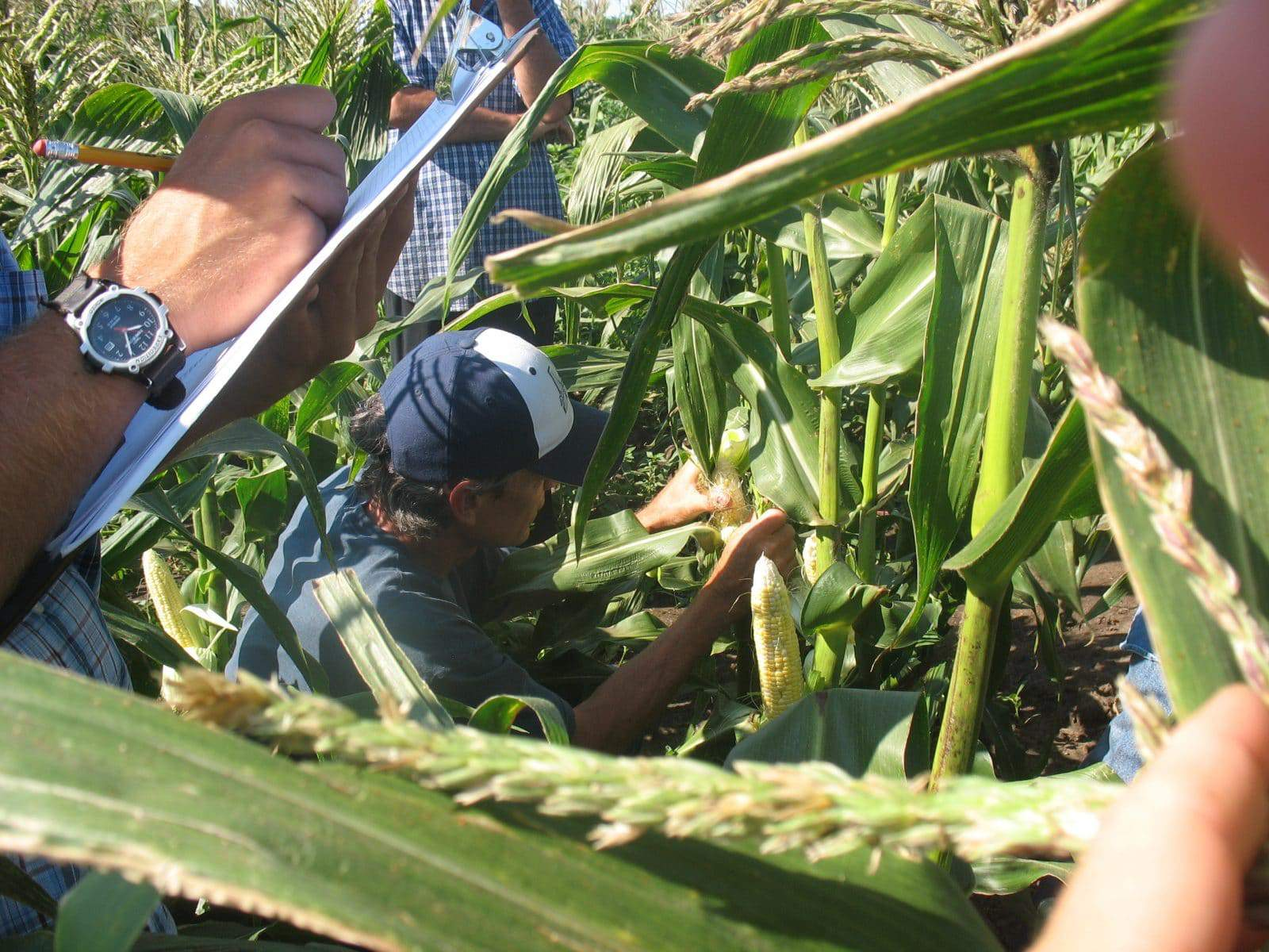 Evalaution of sweet corn at Organic Farming Works.
