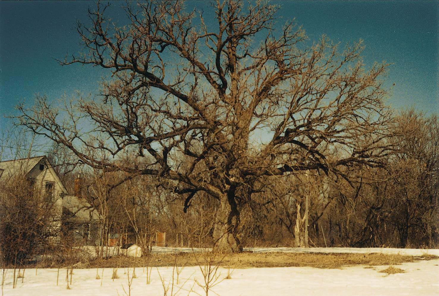 We knew the soil was fertile when we saw this 300-year-old bur oak on our new land in 1991.