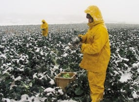 Martin with Laura Frerichs harvest cold-hardy broccoli during an early November storm in 2003.