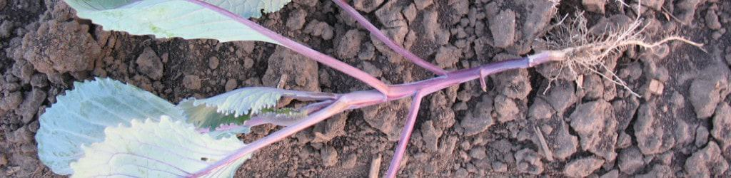 Bare-root red cabbage transplant ready for planting