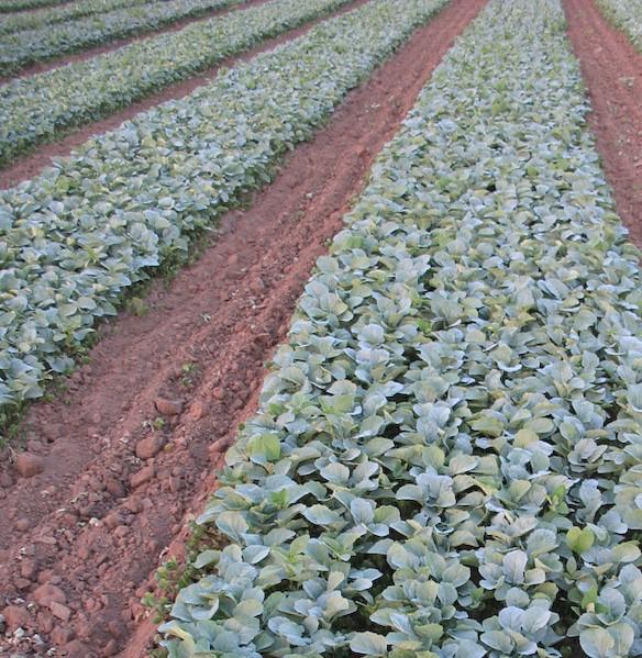 Seedbed of organic broccoli bare-root transplants