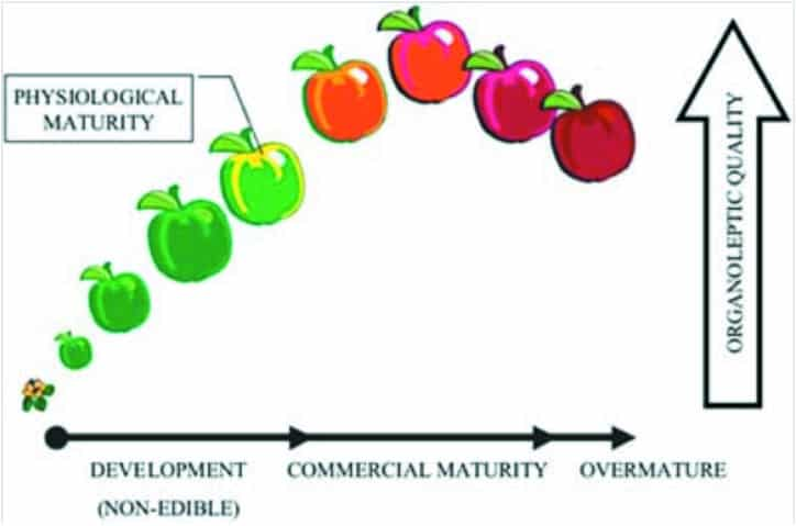 Chart from USDA of tomato organoleptic peak